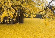 Gingko ağacı