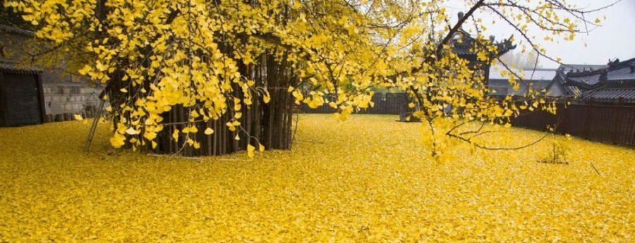 Gingko ağacı: Sonbaharın en güzel manzarası
