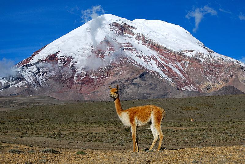 Vicuña - Chimborazo (David Torres Costales / @DavoTC)
