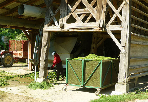 Şerbetçiotu hasadı, Jacquesverlaeken, CC BY-SA 4.0, Commons, Wikimedia