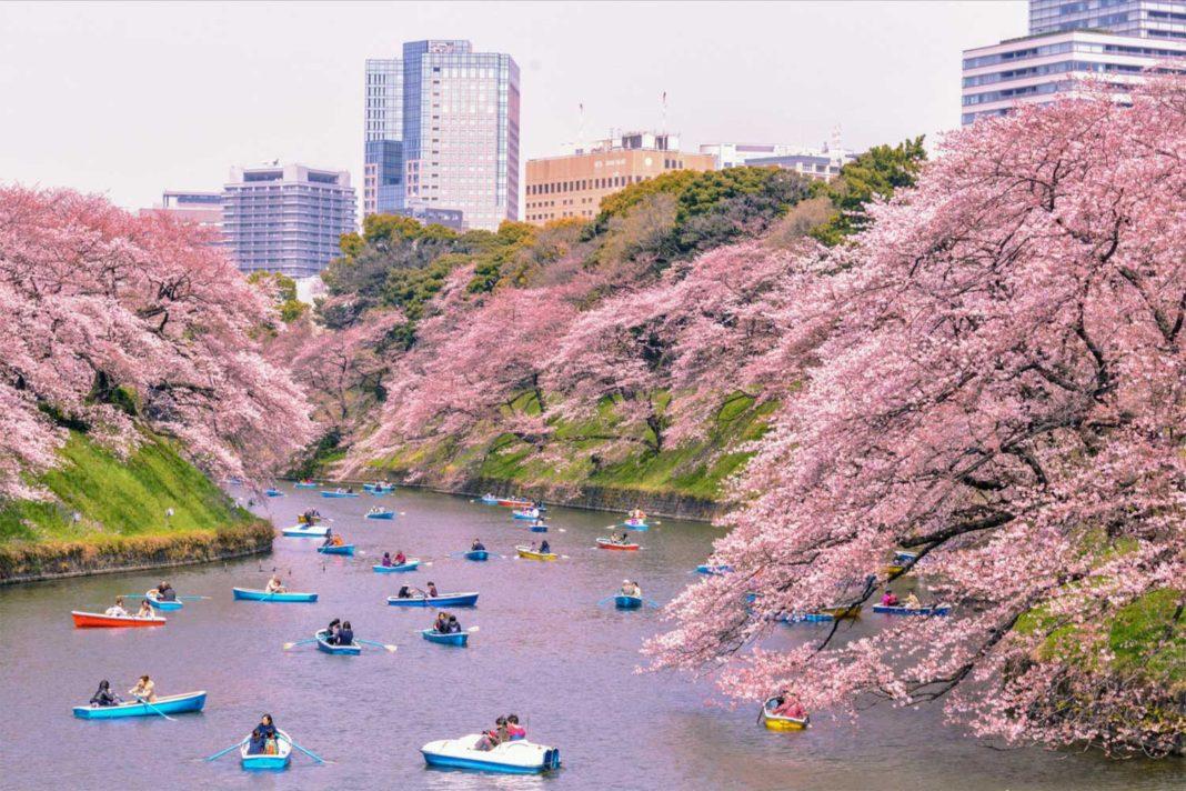 sakura tokyo japonya kiraz ağacı