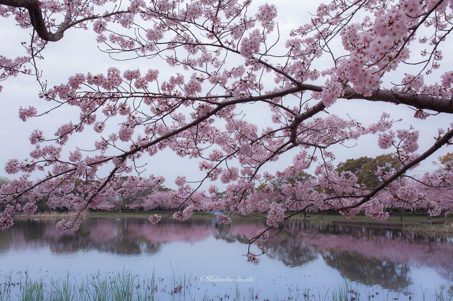 sakura baharı