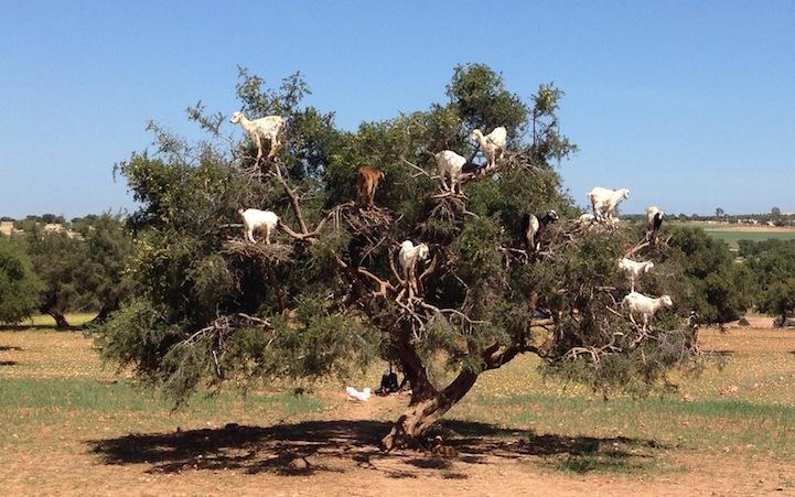 Fas'ta keçiler argan ağacı