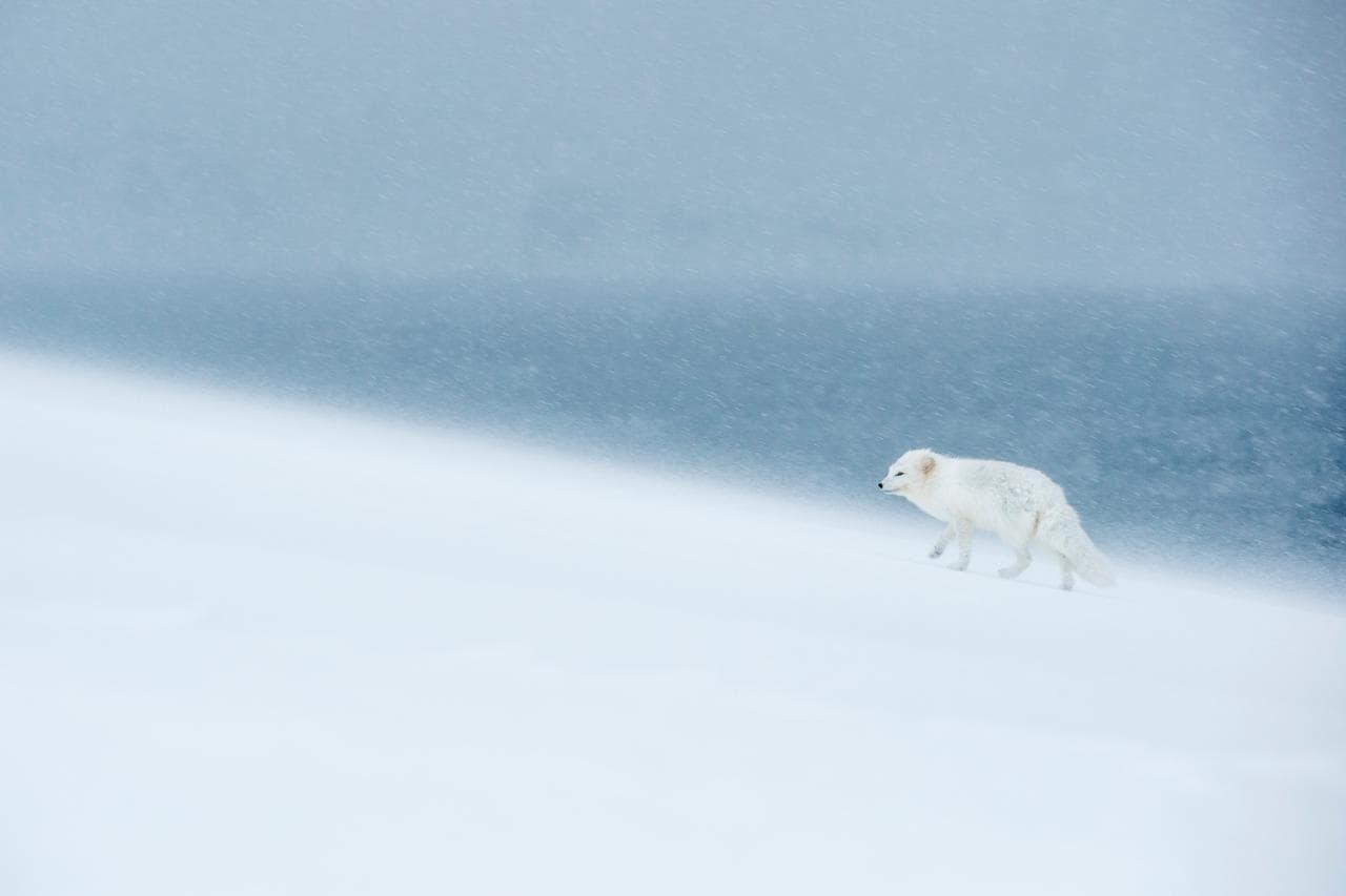 doğa fotoğrafı kutup tilki