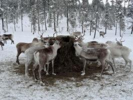 Laponya Lapland ren geyiği