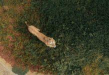 drone fotoğrafı aslan